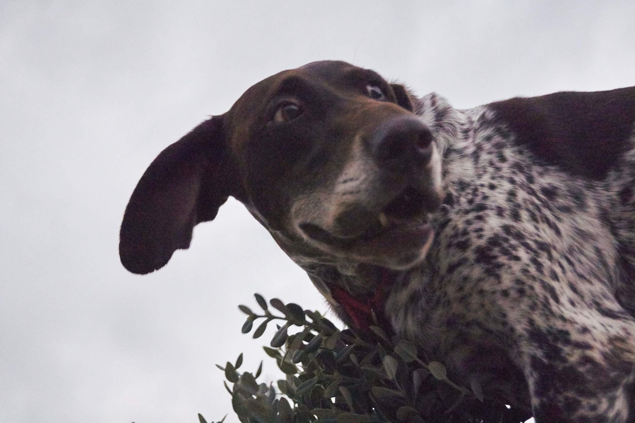 Victoria purebred hunting dog Kutcha | Mykonos dog rescue and adoption | Kelly Noguerol