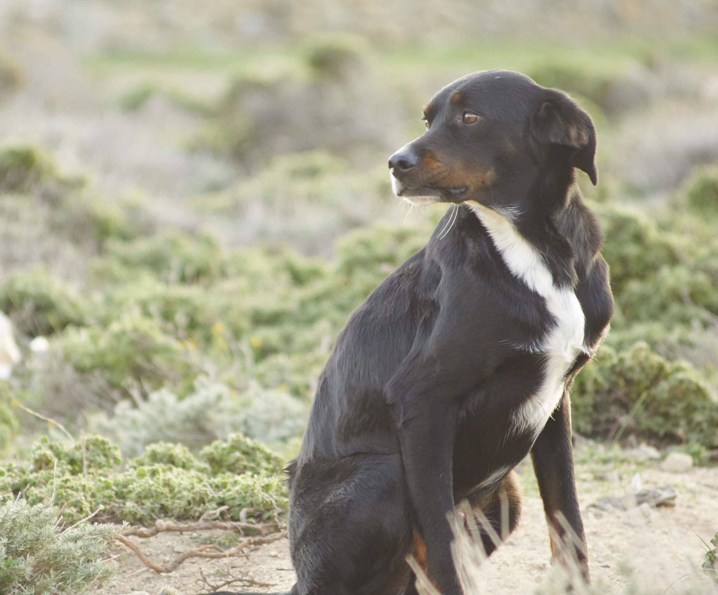 Nikitas mix | Mykonos dog rescue and adoption