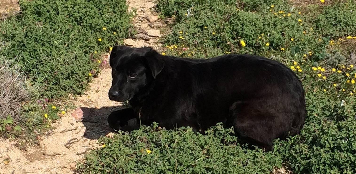 Kostakis mix | Mykonos dog rescue and adoption
