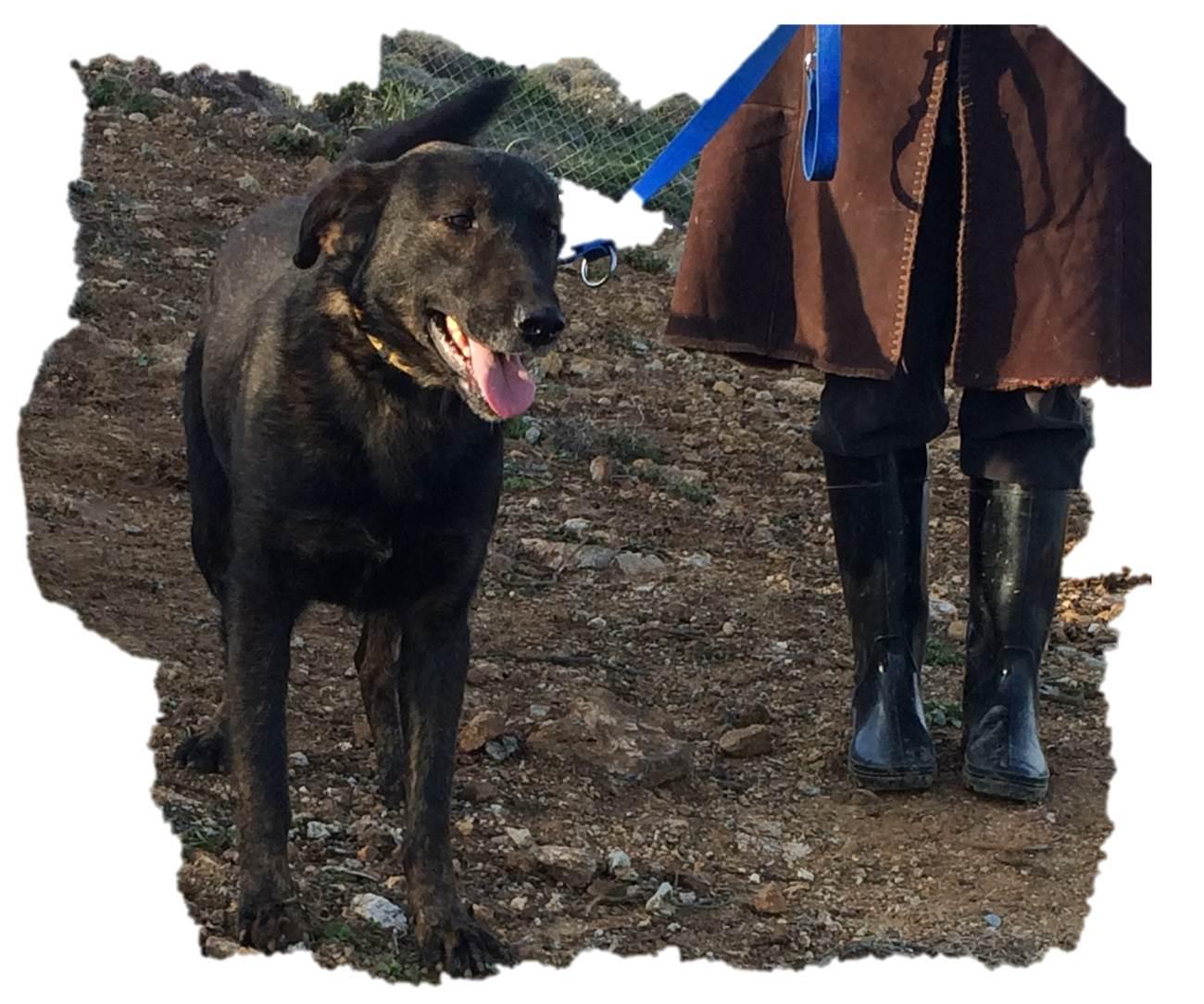 Ilias mix | Mykonos dog rescue and adoption