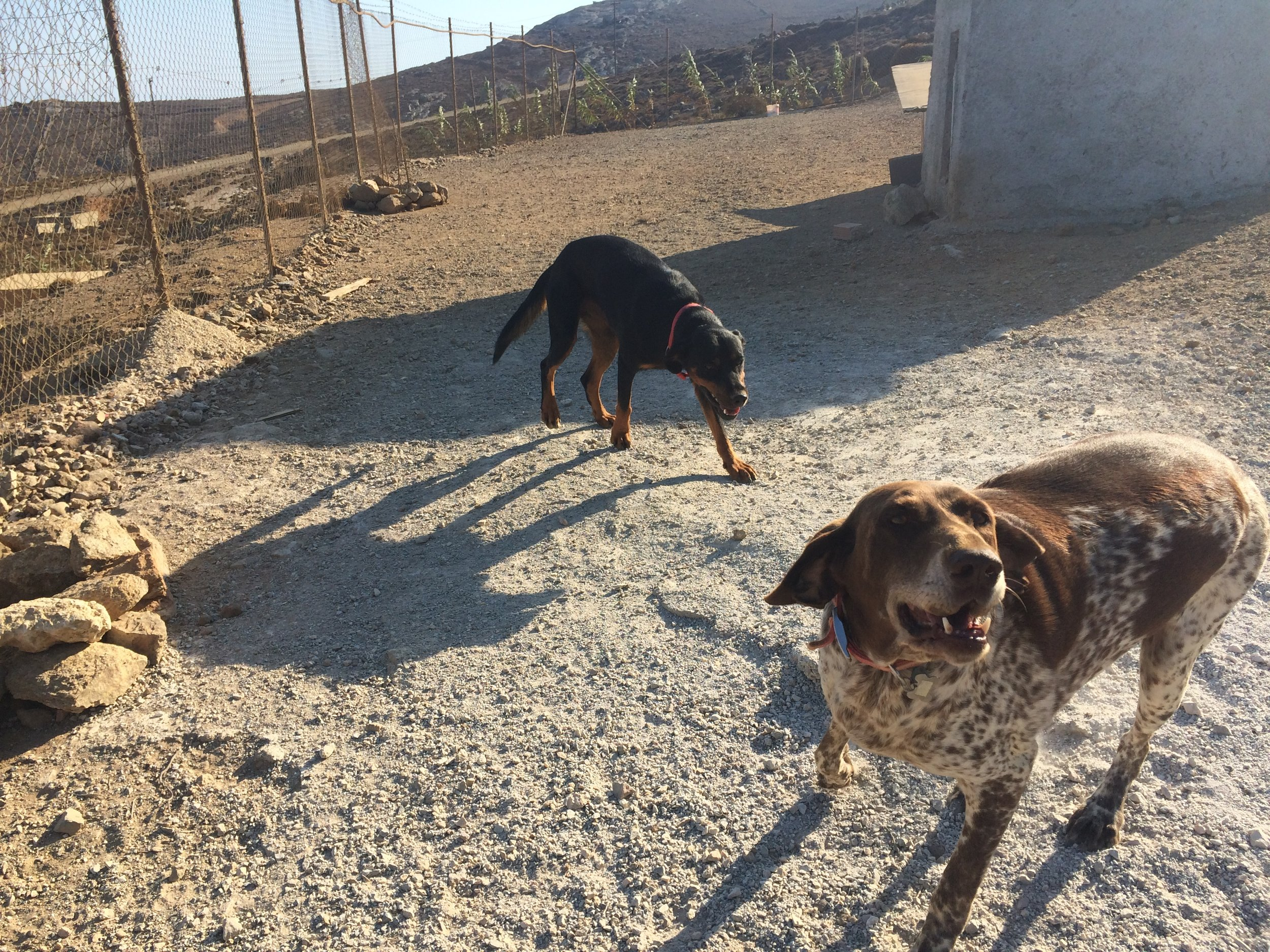 Thanasis Rottweiler Mix | Mykonos dog rescue and adoption | Delphine Limbourg