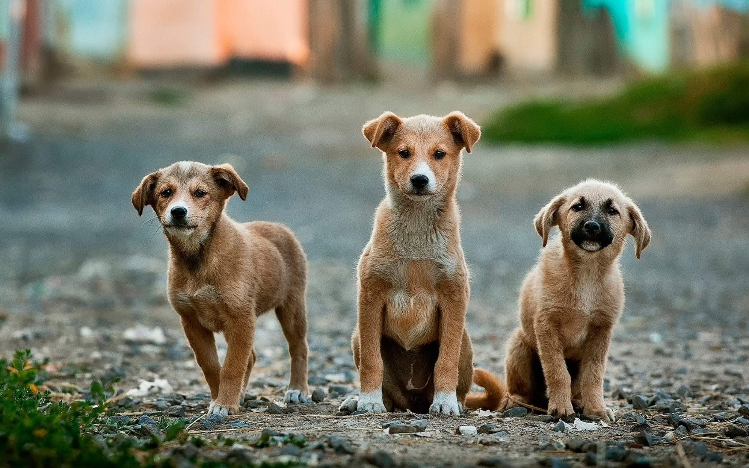 Strays Explained - Curious about where stray dogs come from? There are three sources of stray dogs and all of them have something to do with us humans!
