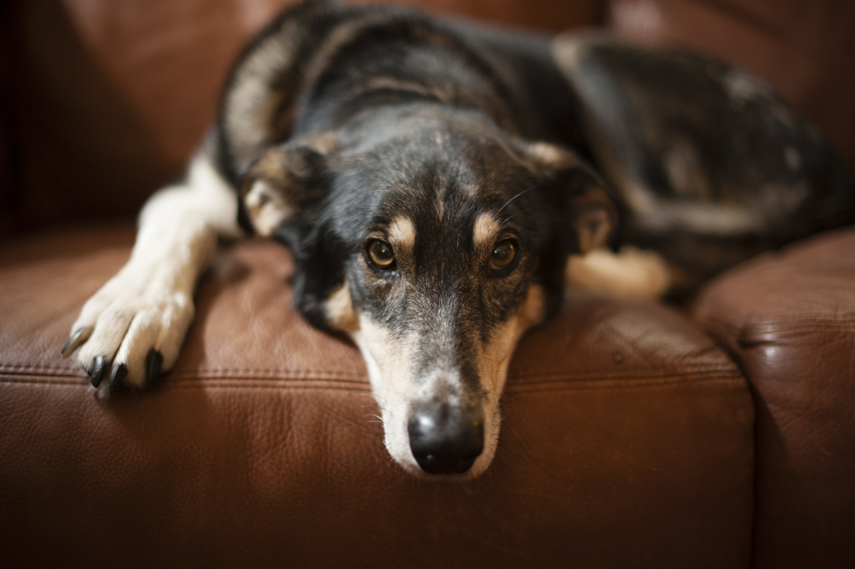 Mr. Samuel, the elder statesman of the retired sled dogs.