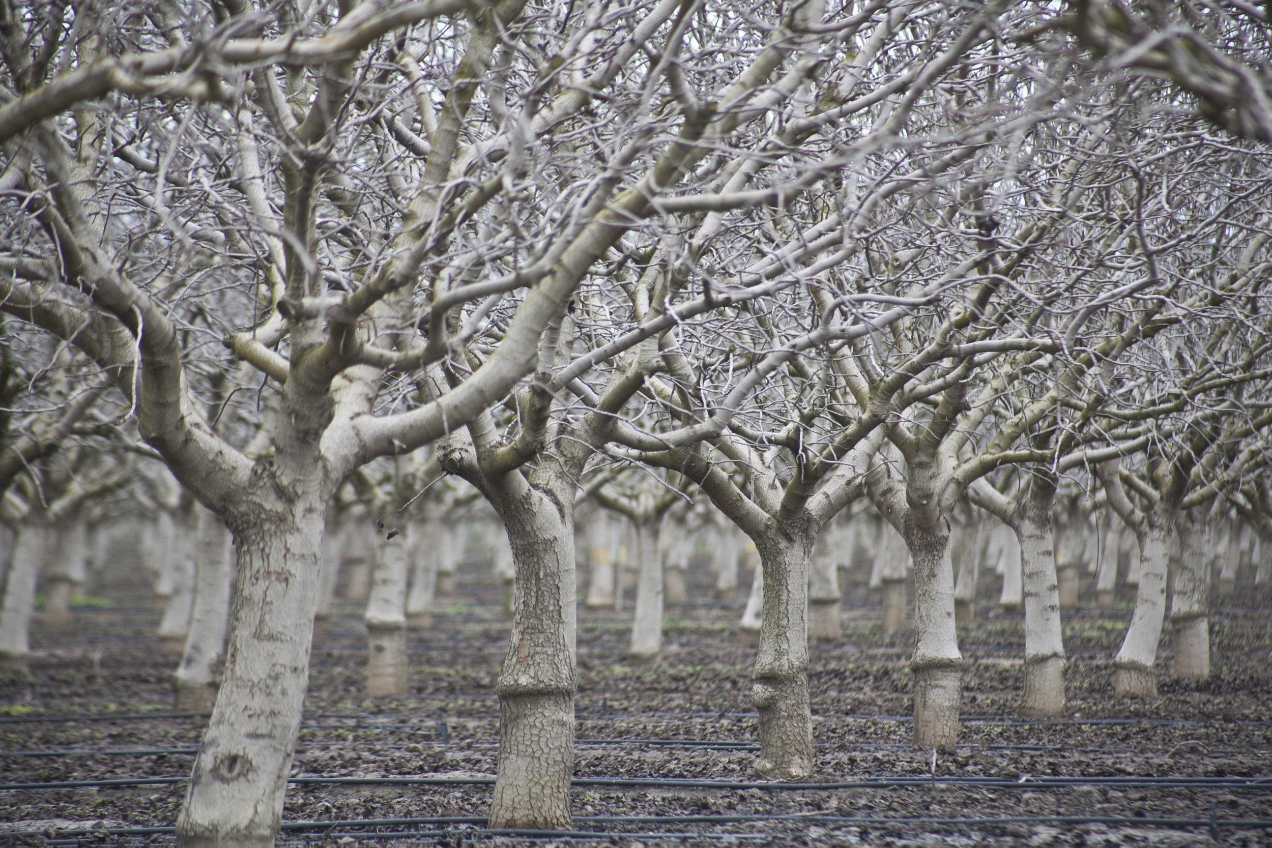 White Trees.jpg