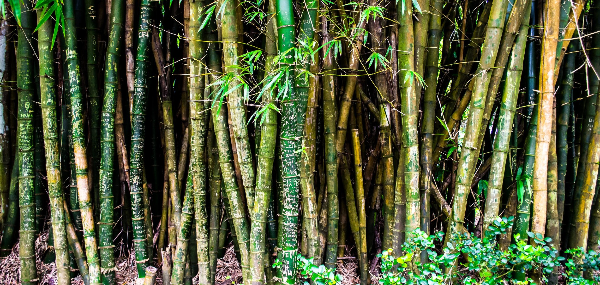 bamboo hawaii.jpeg