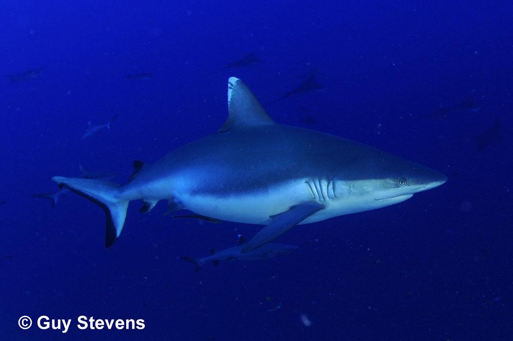 Grey Reef Shark Pregnant.jpg