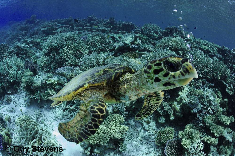 Hawksbill Turtle - Bubbles.jpg