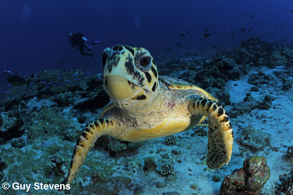 Hawksbill Turtle - Inquisitive.jpg