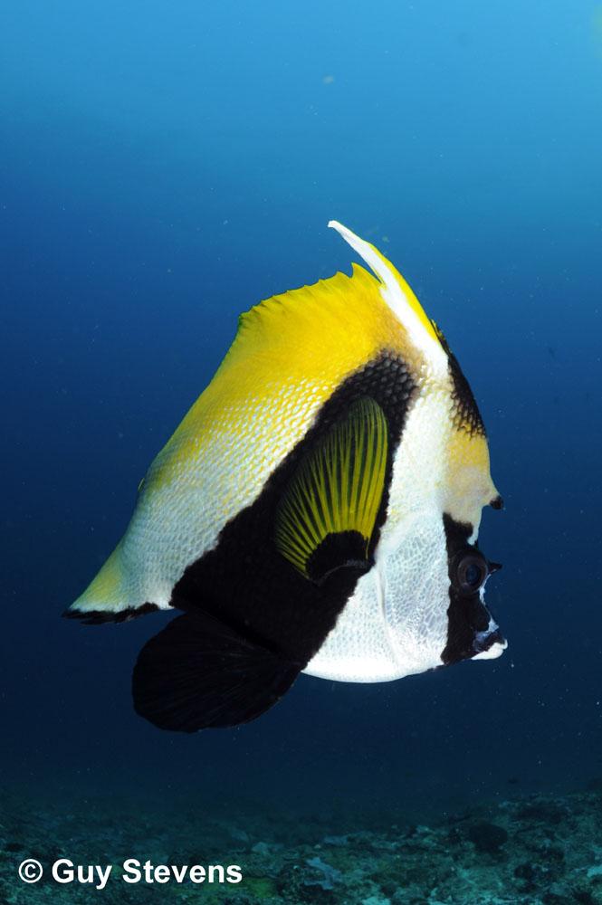 Masked Bannerfish Portrait.jpg