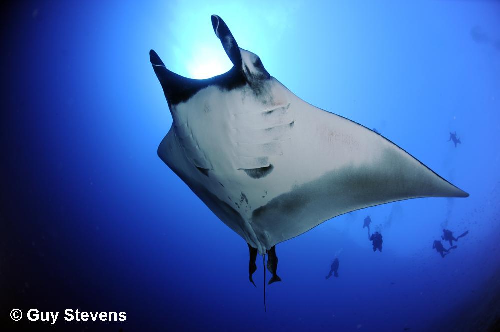 Oceanic Manta Ray A.jpg
