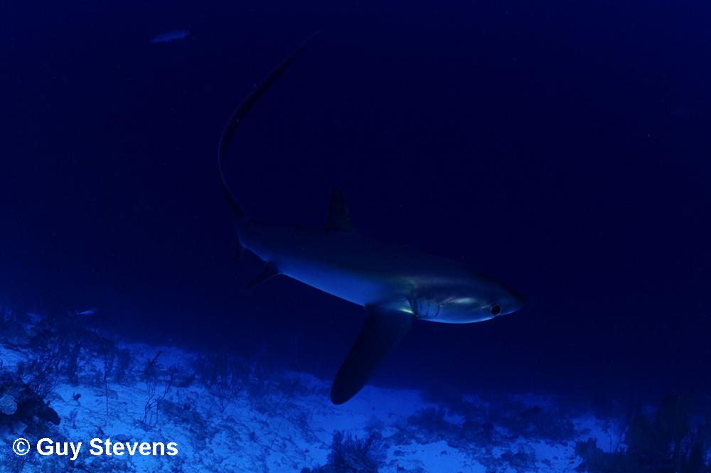 Thresher Shark A.jpg