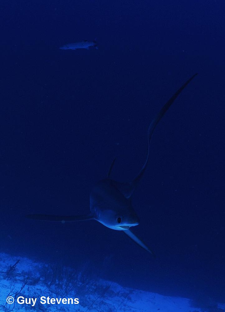 Thresher Shark B.jpg