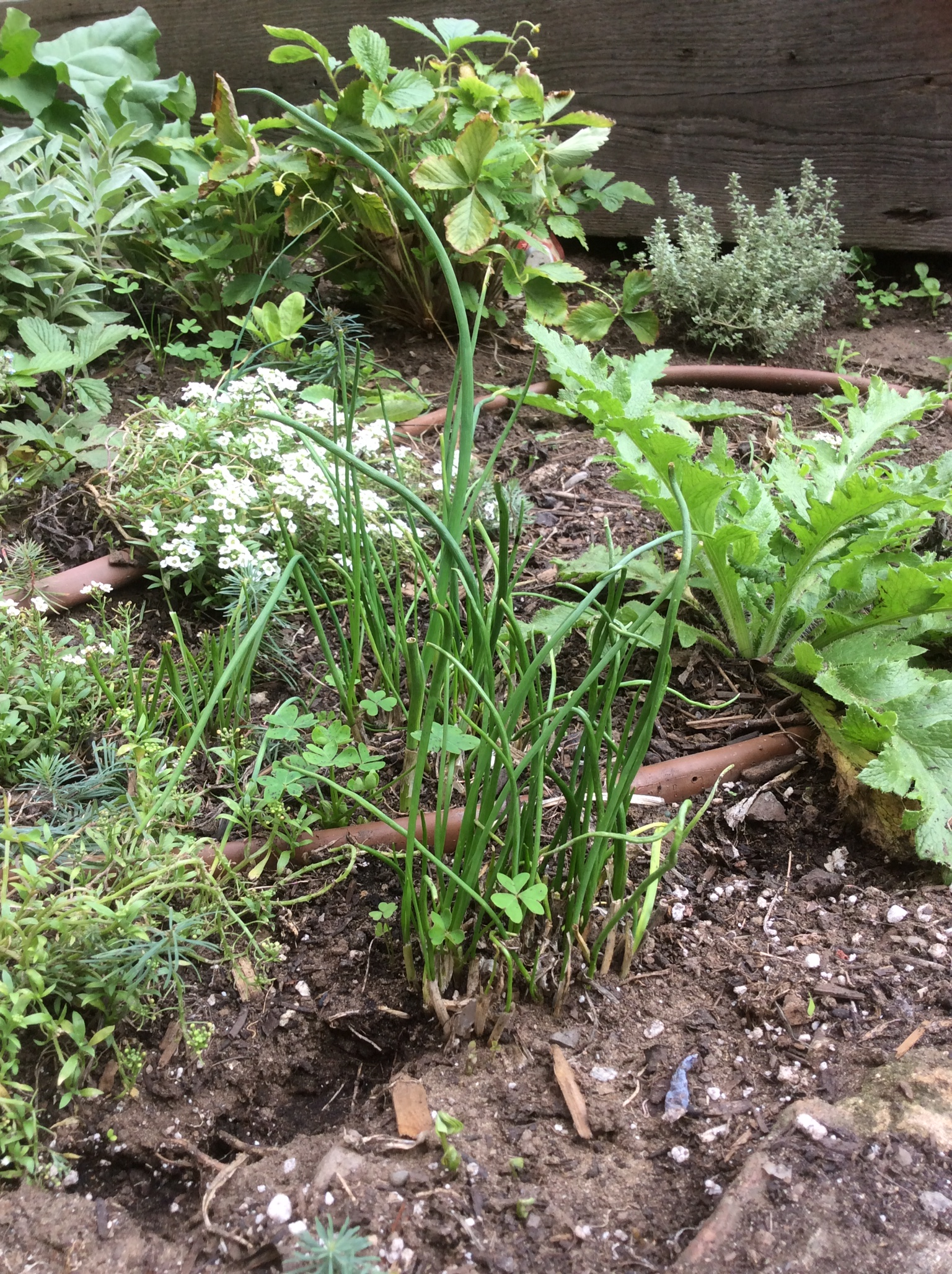 Chives coming back nice and aphid free.