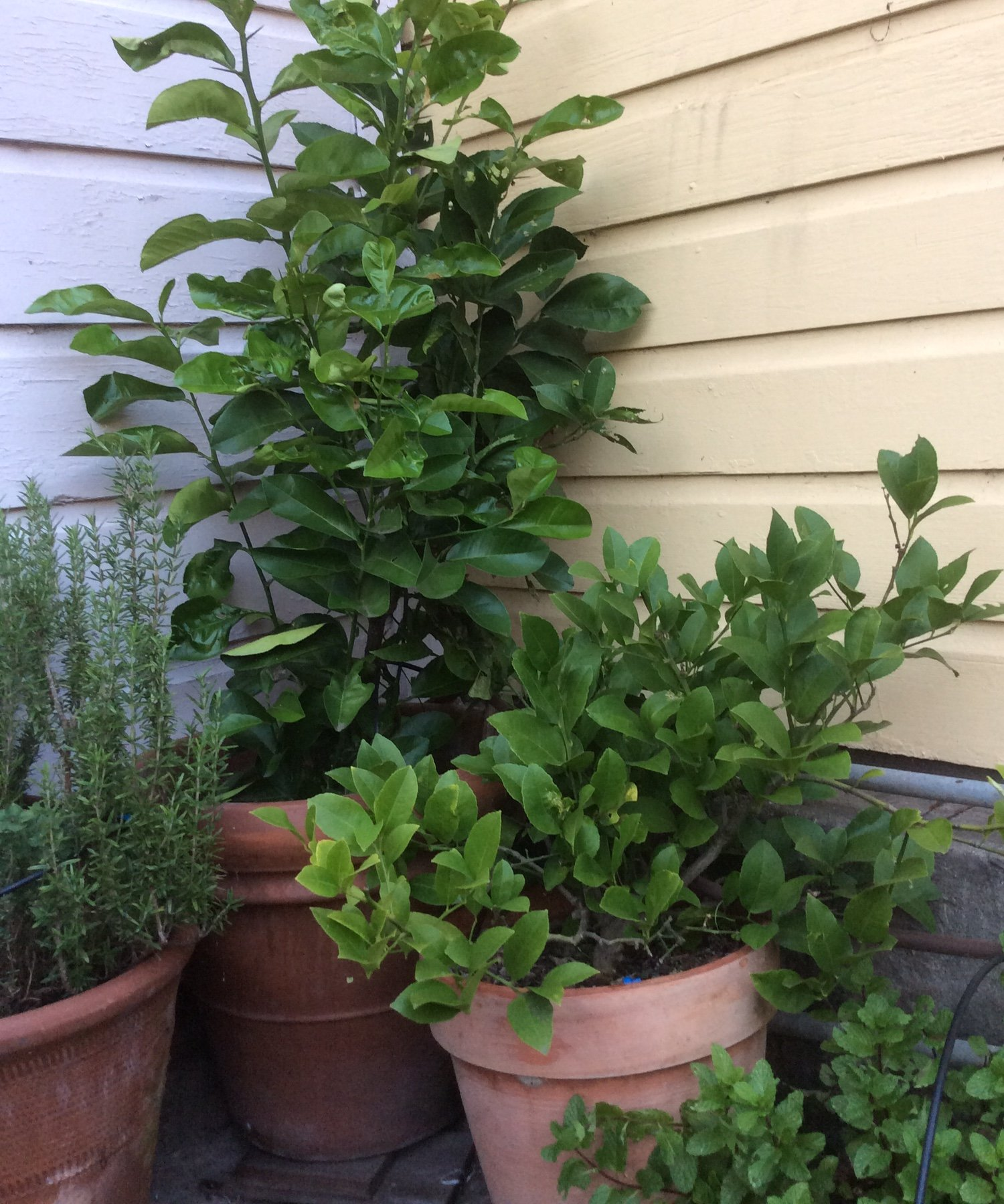 The Confusion  - My lemon trees didn't bloom this year.