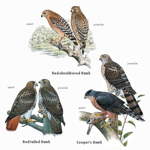 The three kinds of Hen Hawks around Golden Gate Park.