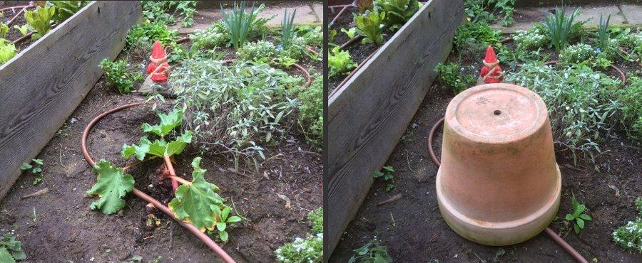Forcing rhubarb is easy peasy.