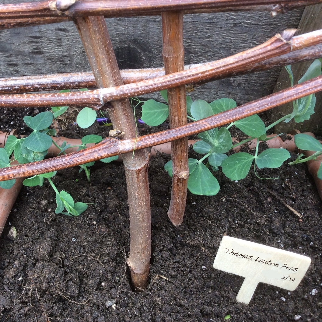 peas transplanted with Rootrainers