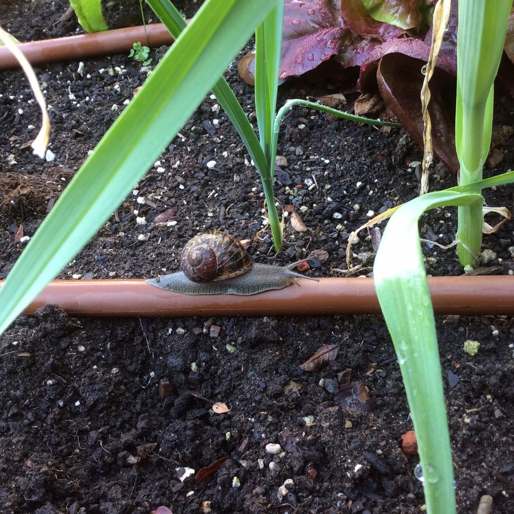 snail cruisin' on drip system