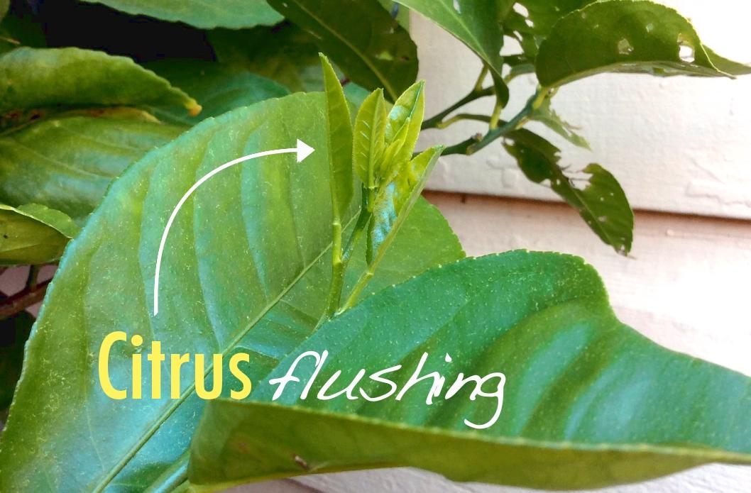 citrus tree flushing