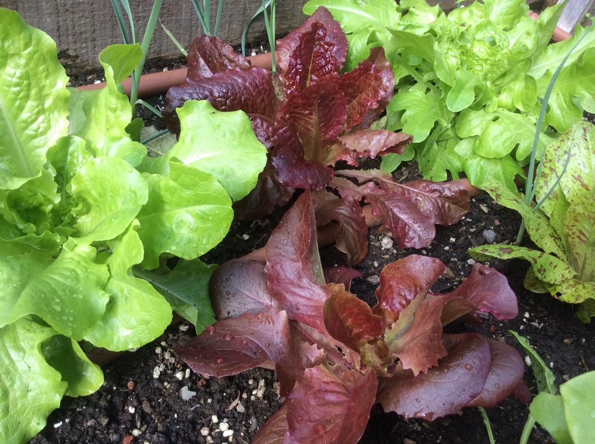 overplanting lettuce