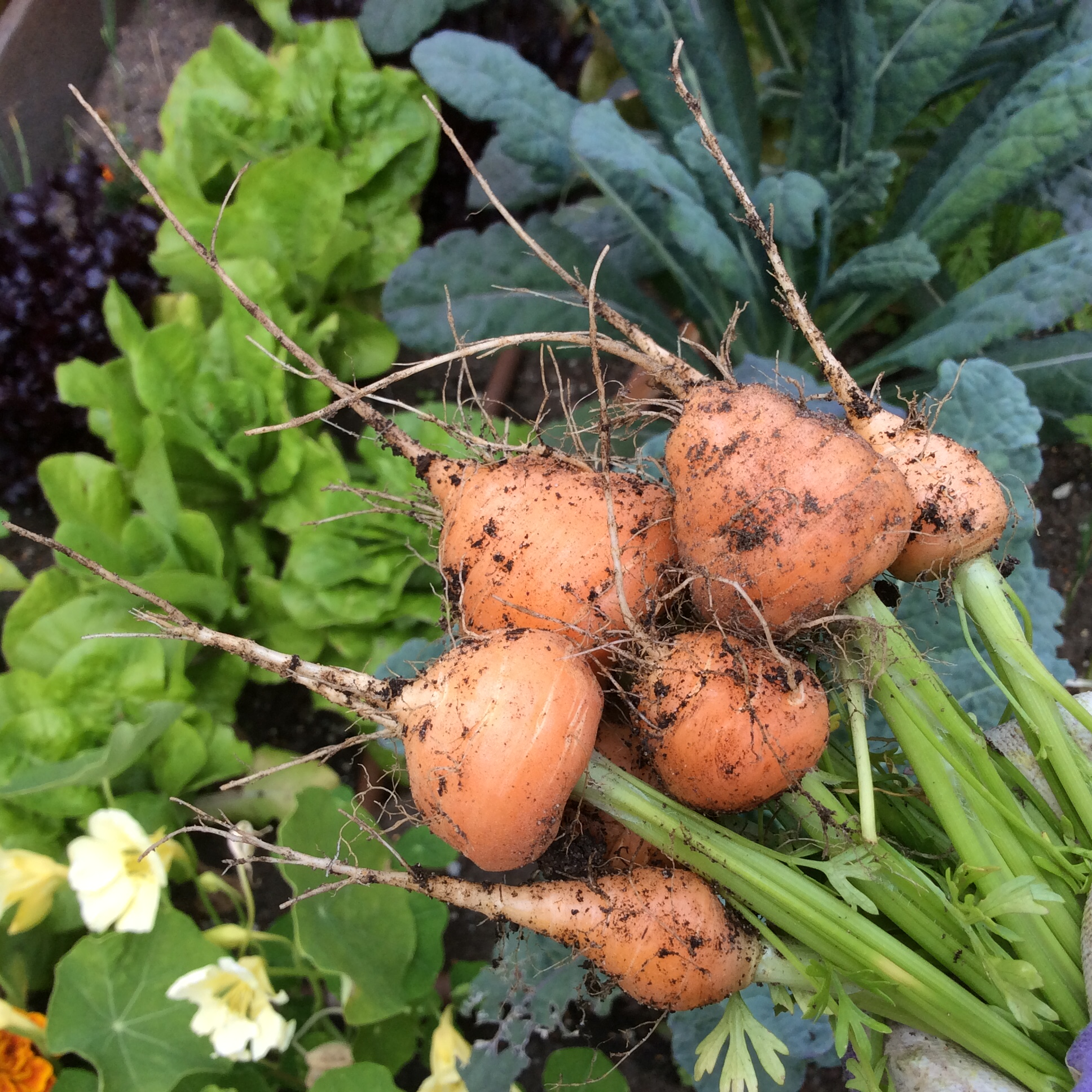 Adorable Parisian carrots that grow very short and round