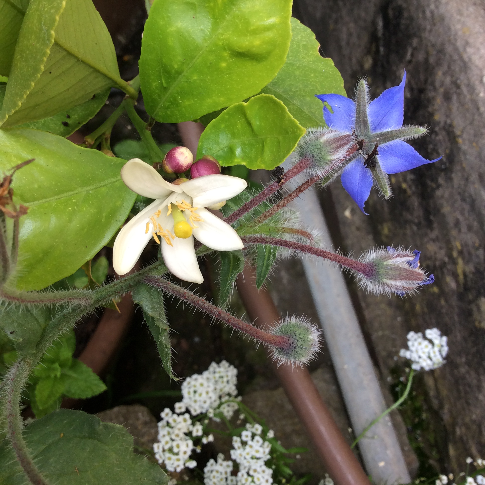 Pink lemon buds unfolding into white blooms and blue borage blooms
