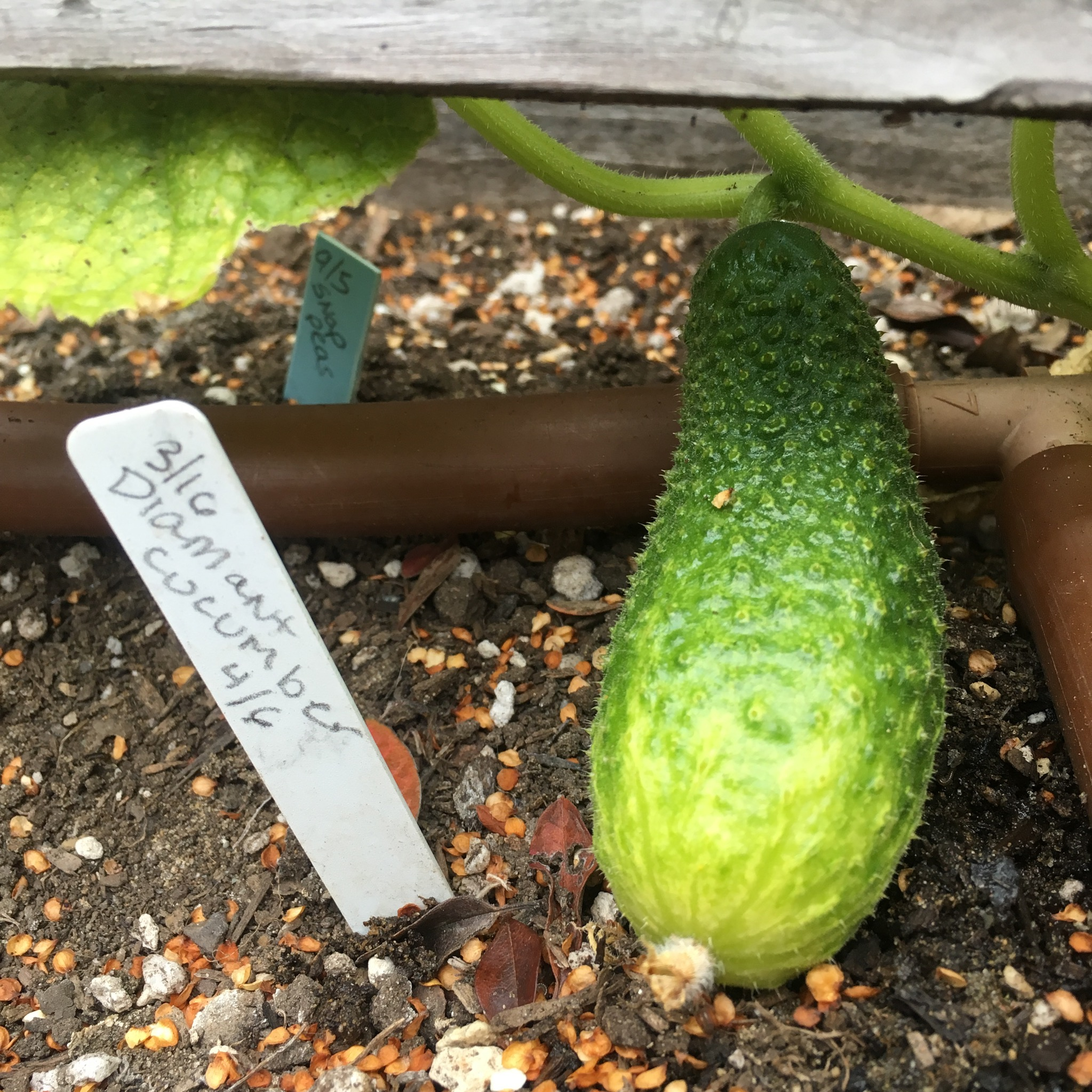 The first cucumbers have arrived. I grow a variety good for pickling