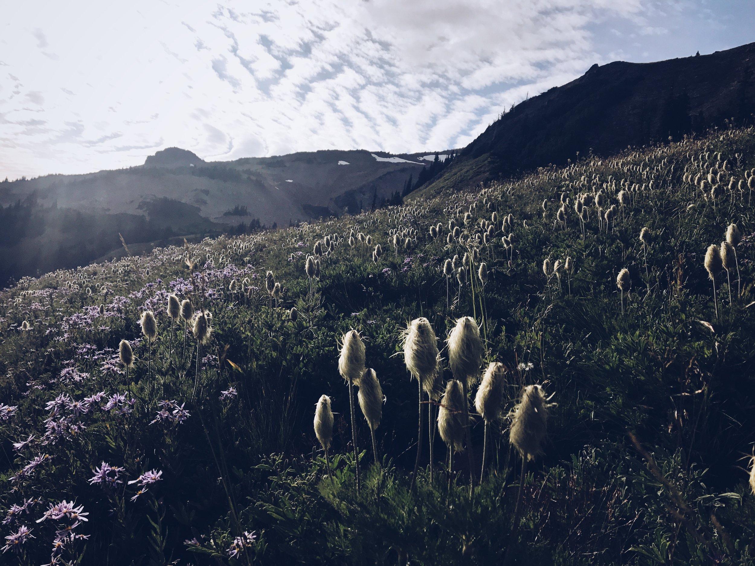 Goat Rocks blooming.