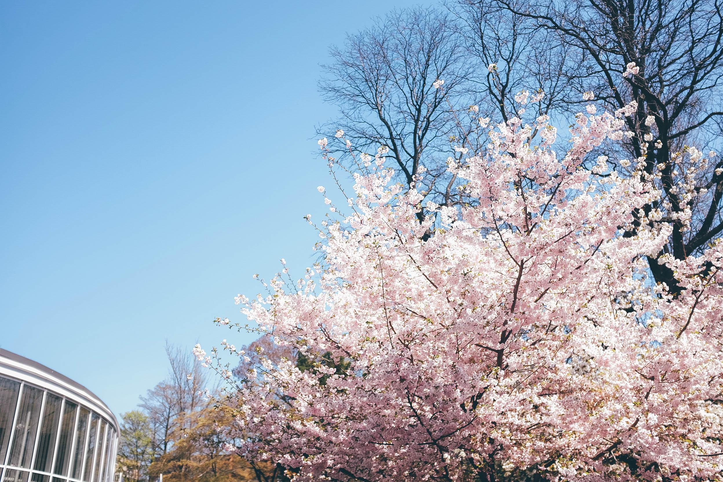 CherryBLossomsCenter.jpg