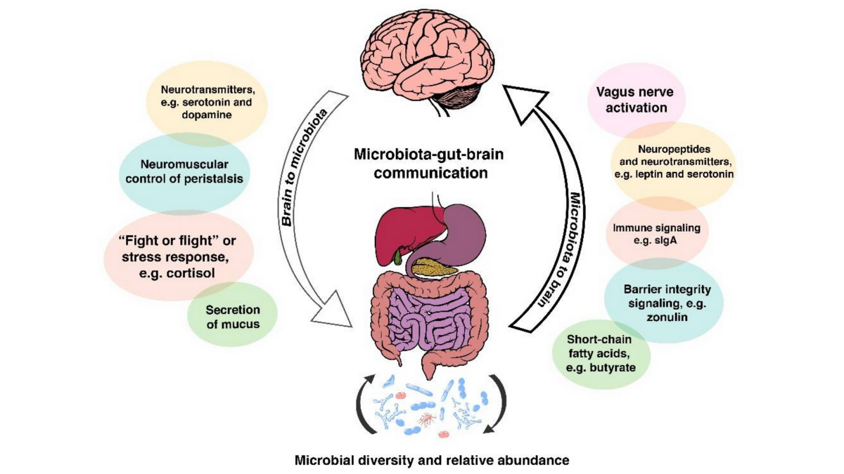 An illustration of the bidirectional communication pathways between the gut microbiota and the brain. (Source:    Microbiome Brain Gut Axis   )