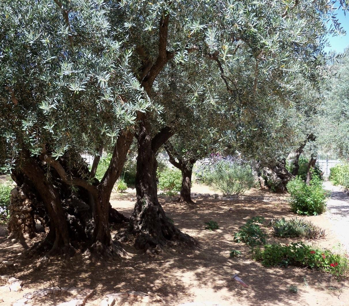 olive trees (2).jpg