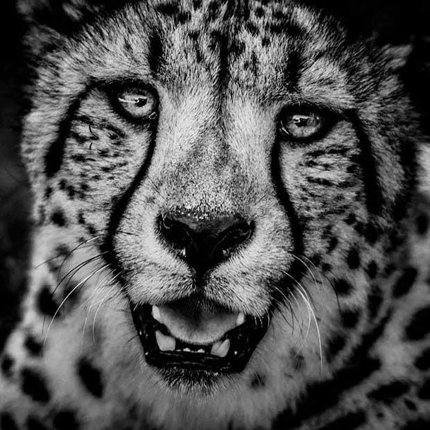 Cheetha portrait- Kenya