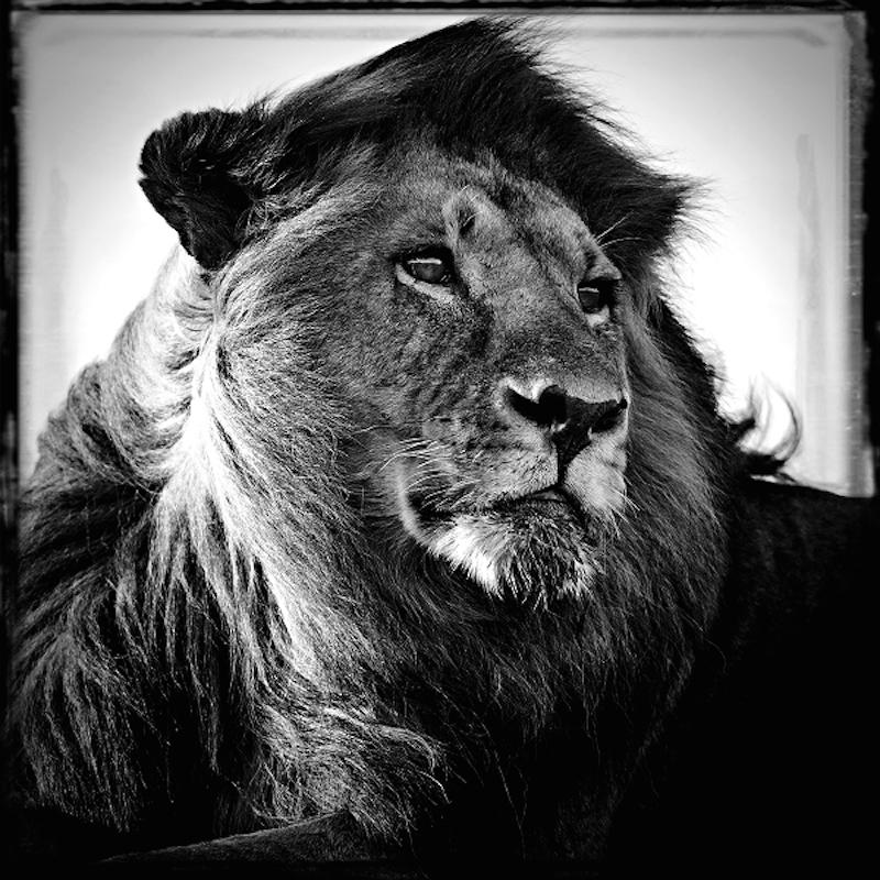 Lion in the wind- Tanzania