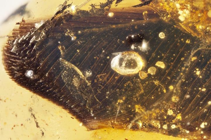 nature-communications-ali-fossili-in-ambra-01.jpg