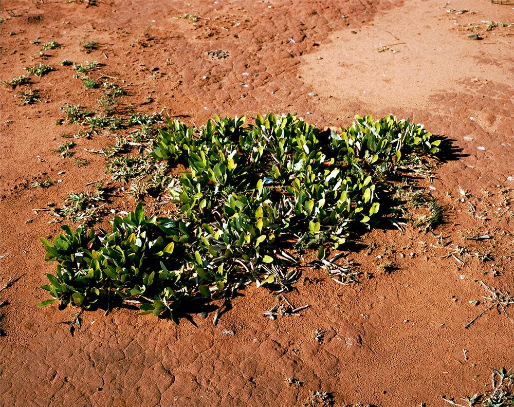 Foresta Sotterranea #0707-10333 (13,000 years old; Pretoria South Africa) MORTA