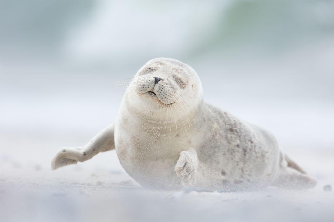 Joy, © Erika Valkovicova.  Un cucciolo di foca gode della brezza mattutina sull'isola di Düne in Germania