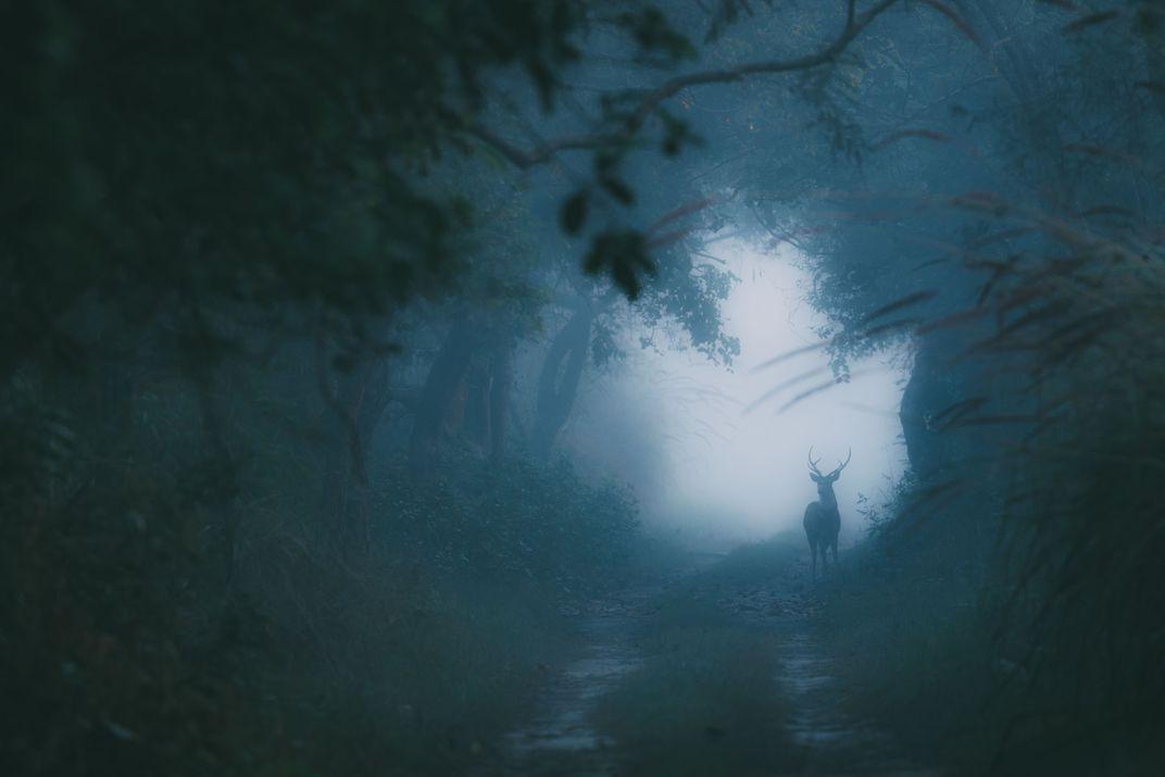 Soul of the Winter Woods, © Swaroop Singha Roy.  Un cervo nella foresta durante una fredda mattinata invernale
