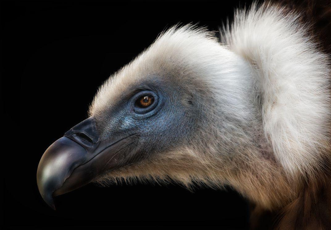 The King, © Pedro Jarque Krebs.  Ritratto di un avvoltoio