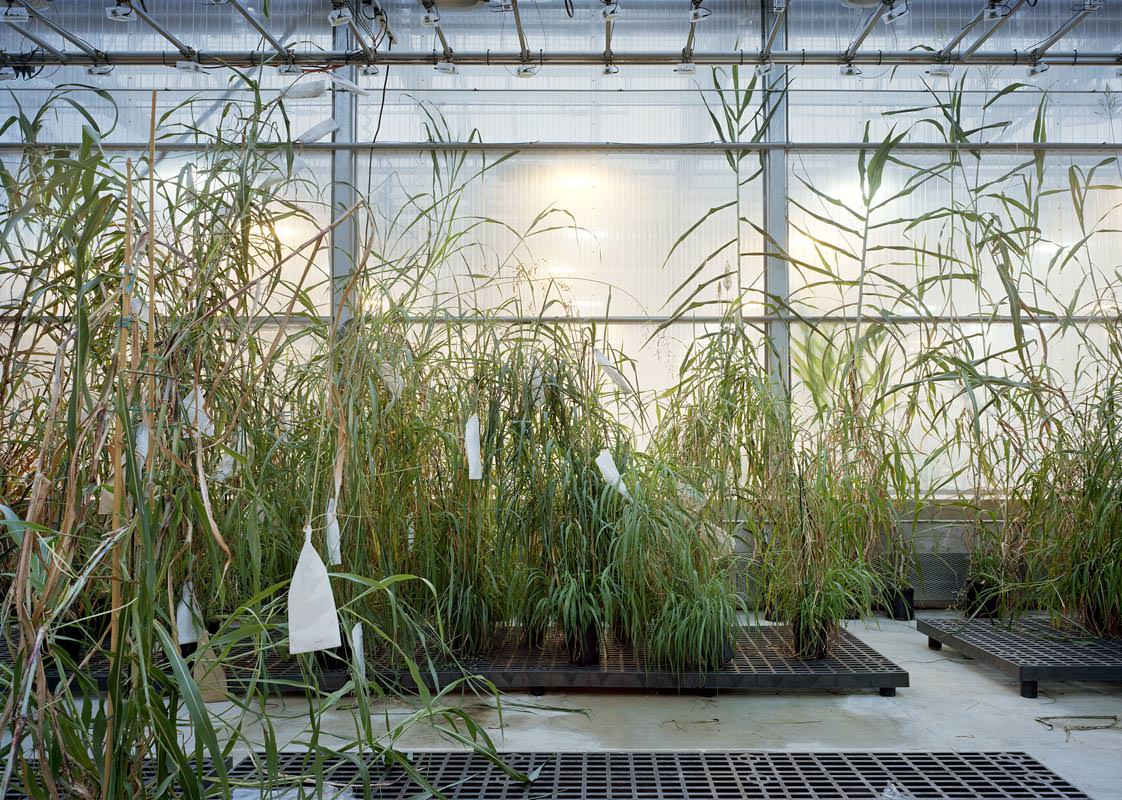 Thomas Struth, Sorghum, Danforth Plant Science Center, St Louis 2017, Inkjet print, 159,8 x 221,6 cm, © Thomas Struth