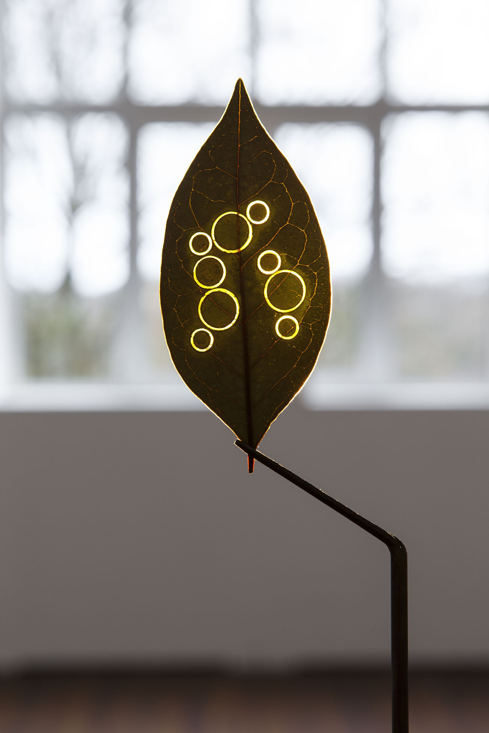 Daniel Steegmann Mangrané, Elegancia y renuncia, 2011; Foglia essiccata (ficus elastica japonicum), supporto in metallo, proiezione di diapositive. Veduta dell'installazione: CRAC Alsace Centre Rhénan d'Art Contemporain, Altkirch, 2014. Courtesy dell'artista e Esther Schipper, Berlino. Foto: Andrea Rossetti