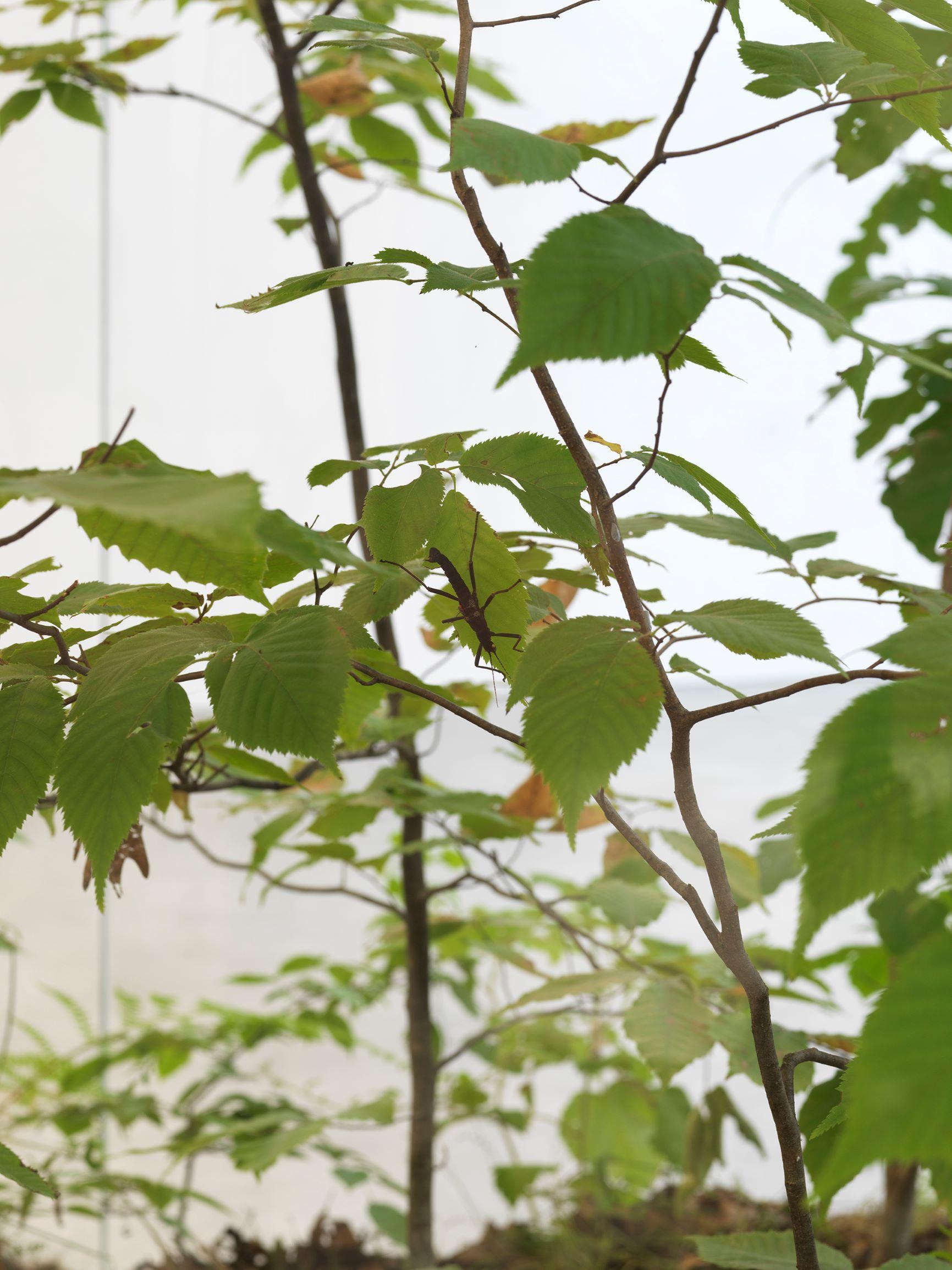 Daniel Steegmann Mangrané, A Transparent Leaf Instead Of The Mouth,, 2016-17 (dettaglio). Vetro, metallo, ecosistema con insetti stecco e insetti foglia. Courtesy dell'artista e Esther Schipper, Berlino. Foto: Matt Grub