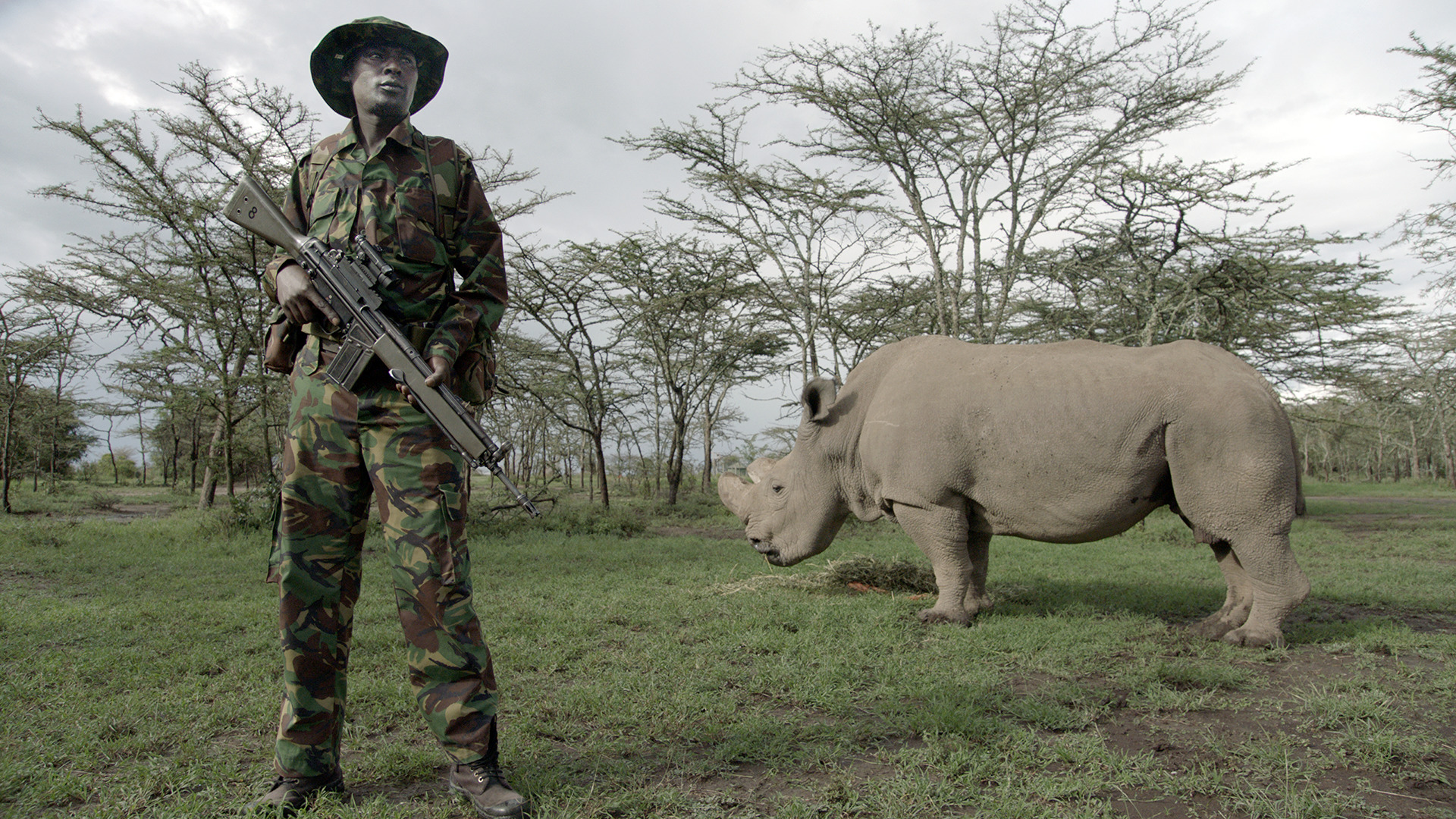 Rinoceronte bianco nella riserva keniota di Ol pejeta. Film Still