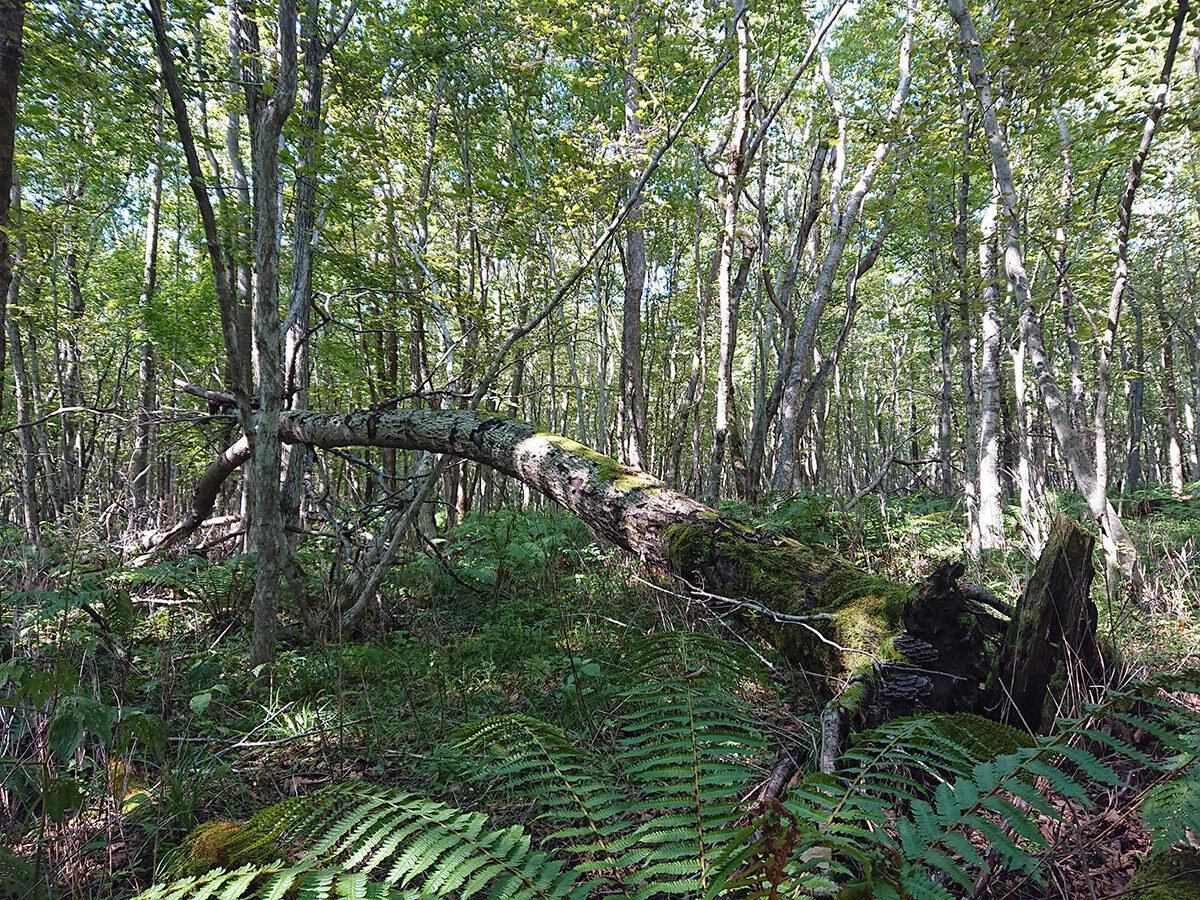 alberi caduti a causa del loro stesso peso nella foresta di Ikor