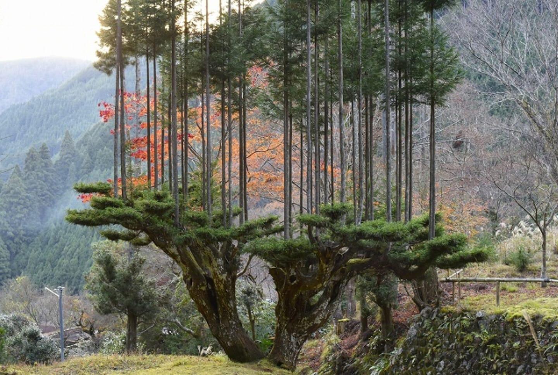 Il Daisugi una tecnica giapponese vecchia di 600 anni per far crescere gli alberi sulla cima di altri alberi potrebbe salvarci dalla deforestazione