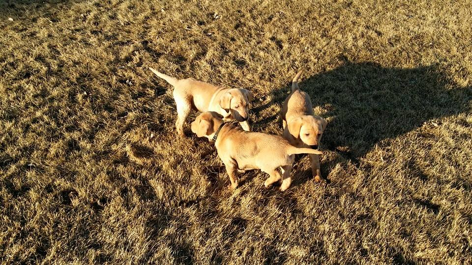These 3 boys (4xGMPR Tyke SH X CPR Lucy) went to a pheasant hunting lodge to be trained as future guide dogs.
