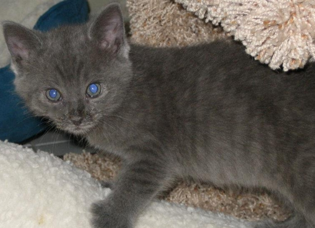 pretty grey tabby kitten.jpg