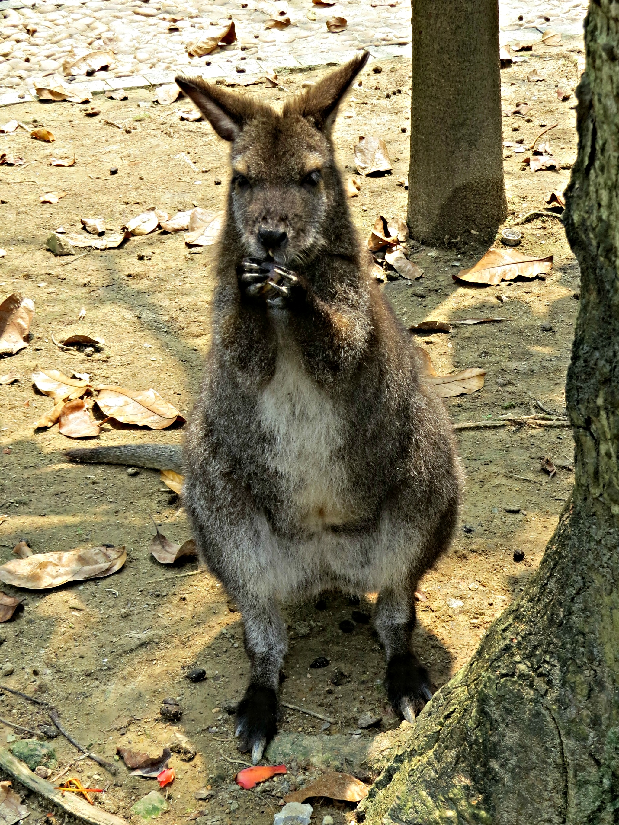 This wallaby was eating petals that had fallen from a Kapok tree.