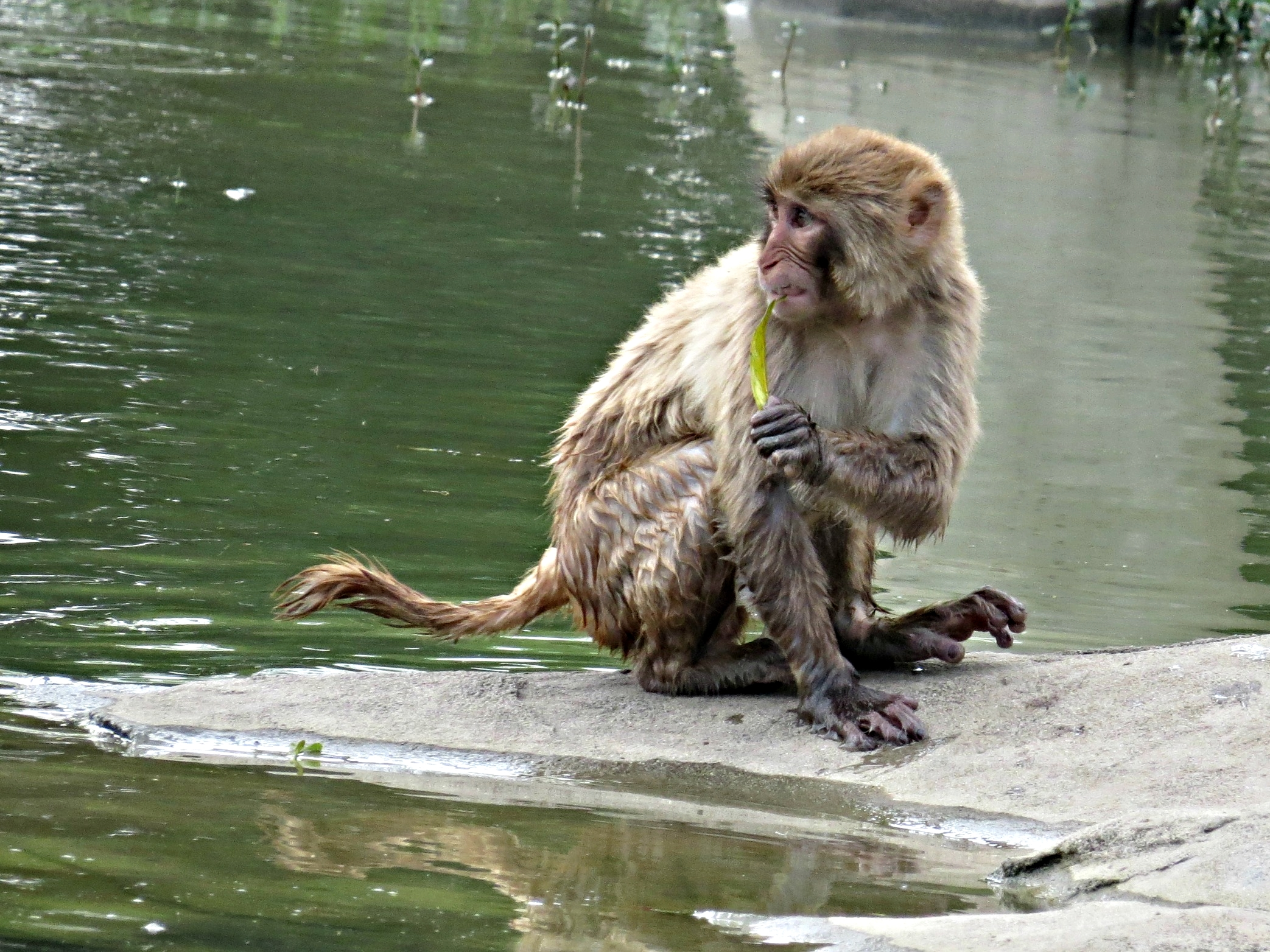 A macaque watching some workers who were on his island area