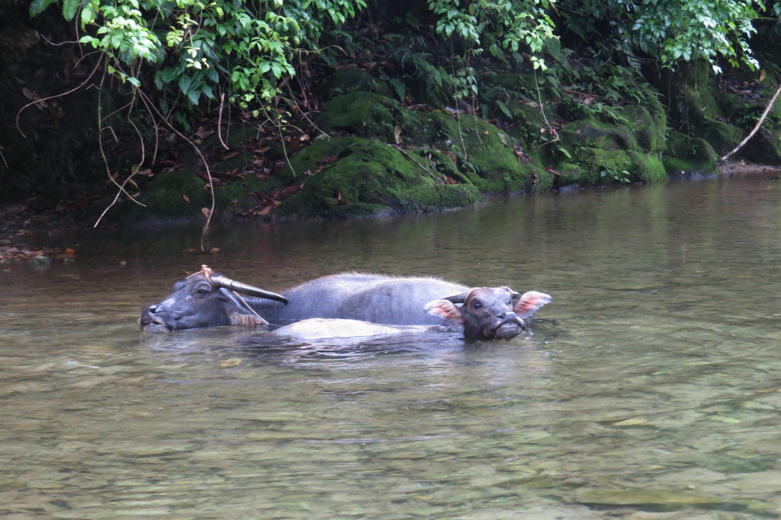 Carabao in water