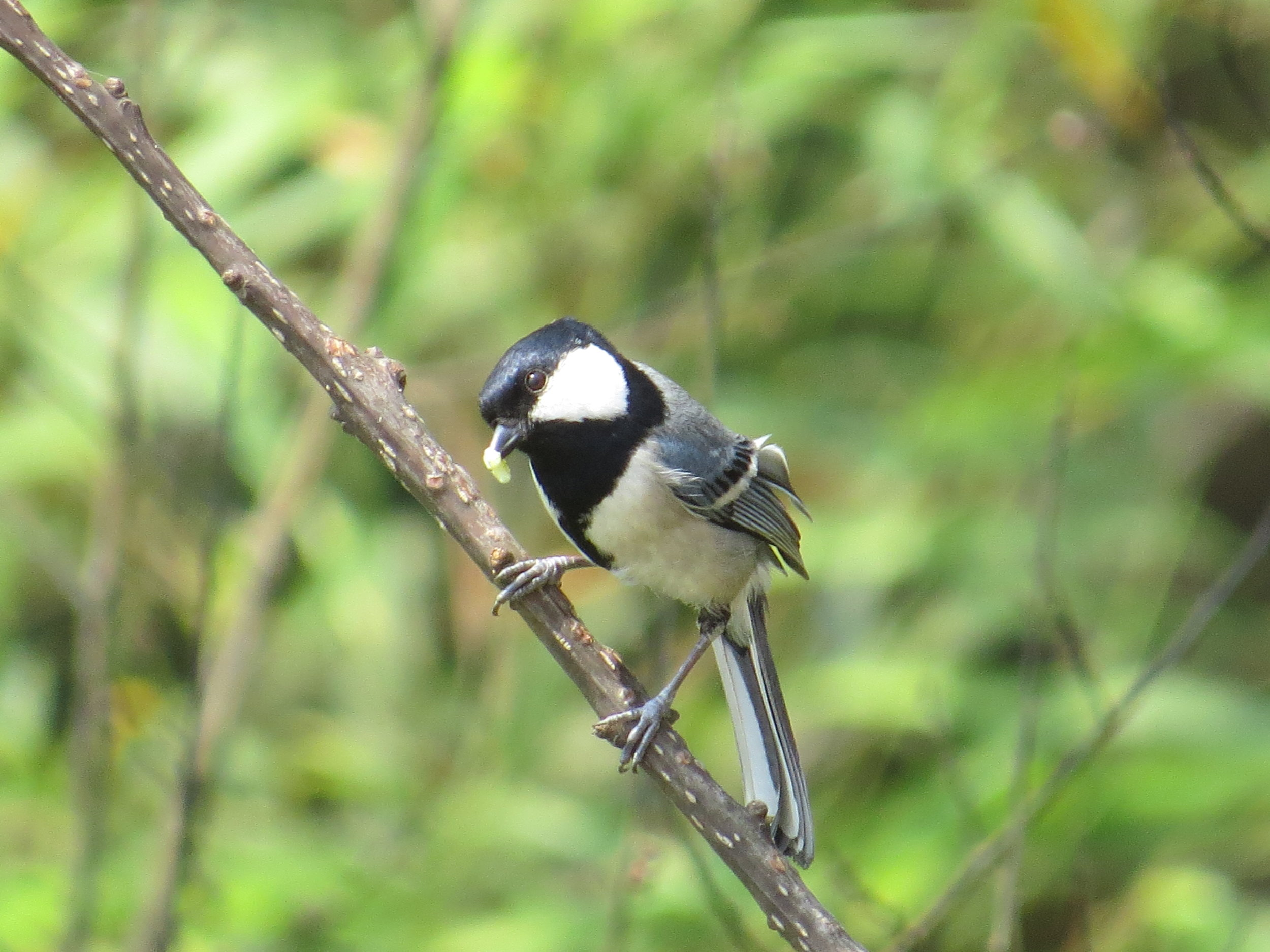 I think this is a Great Tit, taken from our hotel room balcony